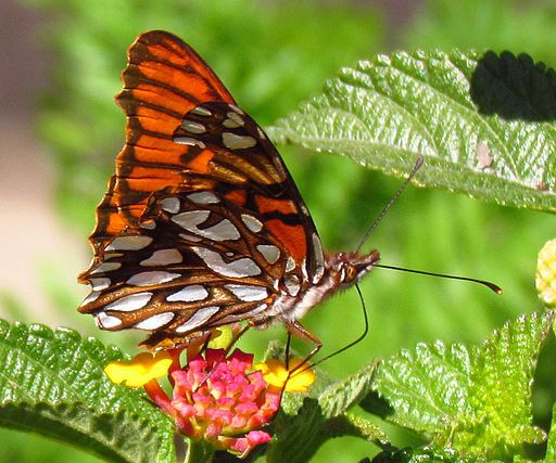 Mexican Silverspot Butterfly - things that are orange