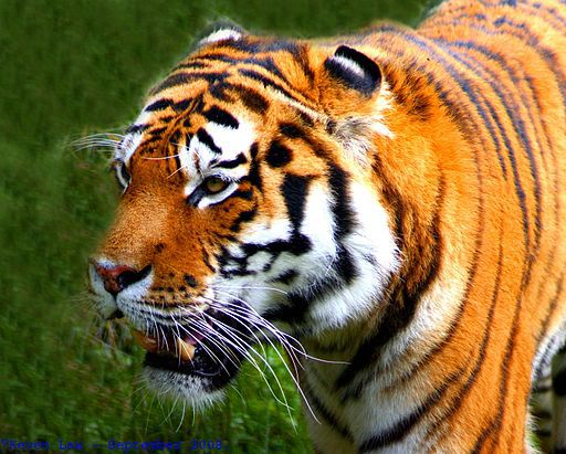 Tiger - things that are orange