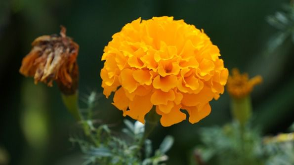 marigold - things that are orange