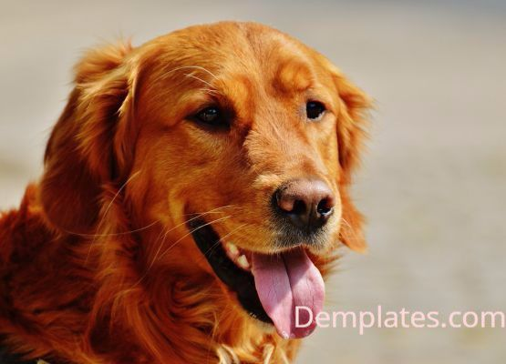 Golden Retriever Dog - Things That are Yellow