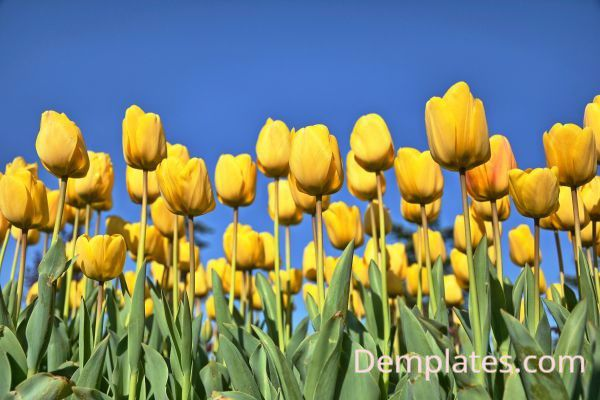 Tulips - Things That are Yellow