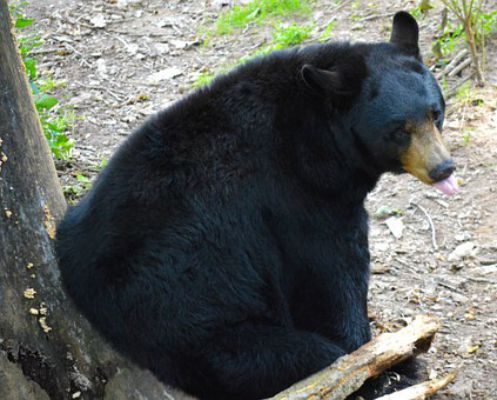 American Black Bear - Things that are black