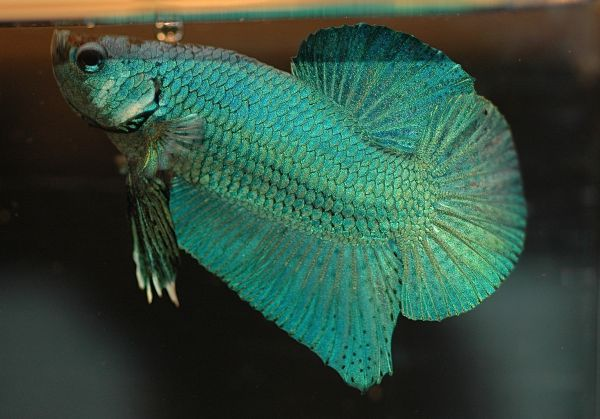 Green Betta Fish - Things that are green
