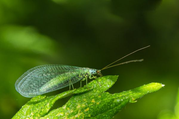 Green Lacewings - Things that are green