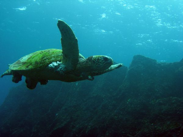 Green sea turtle - things that are green