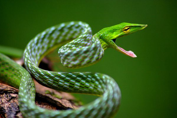 Green vine snake - Things that are green