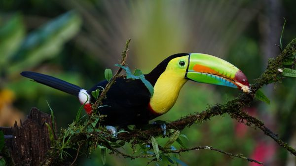 Keel Billed Toucan - Things that are green