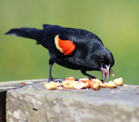 Red winged blackbird - Things that are black