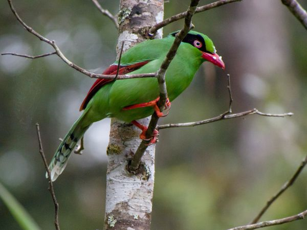 Short tailed green magpie - Things that are green