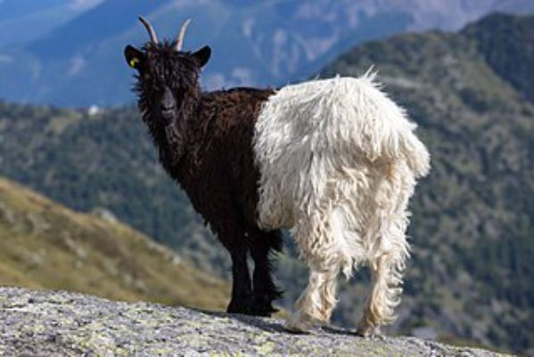 valais blackneck - Things that are black